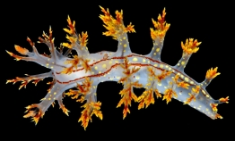 Is this Norway's coolest nudibranch?