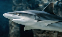I dag er det Shark Awareness Day